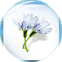 Swertia japonica
